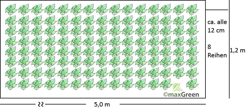 Mischkultur Ende September - 8 Reihen Spinat